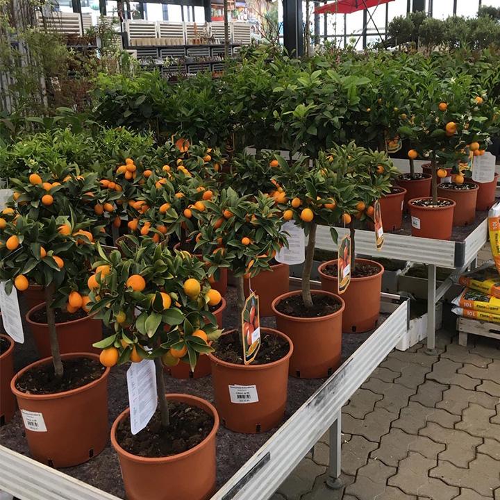 Citrustræer i drivhuset